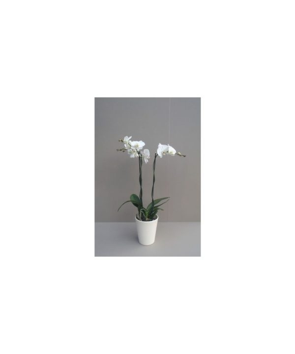 Orchidee mit Cachepot