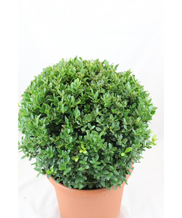 Pflanze Ilexkugel, ca. 35 cm Durchmesser