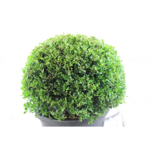 Pflanze Ilexkugel 40/45 cm