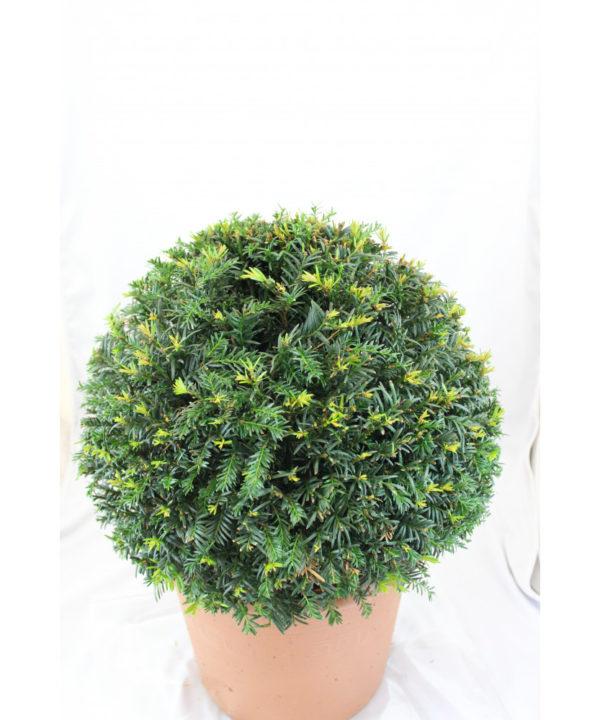 Pflanze Eibenkugel 35-40 cm Durchmesser