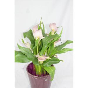 Calla rosafarben, Pflanze