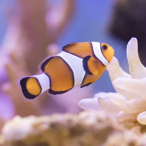 Falscher Clown - Anemonenfisch