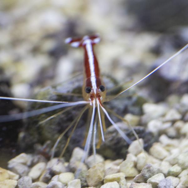 Weissbandputzergarnele / Lysmata amboinensis