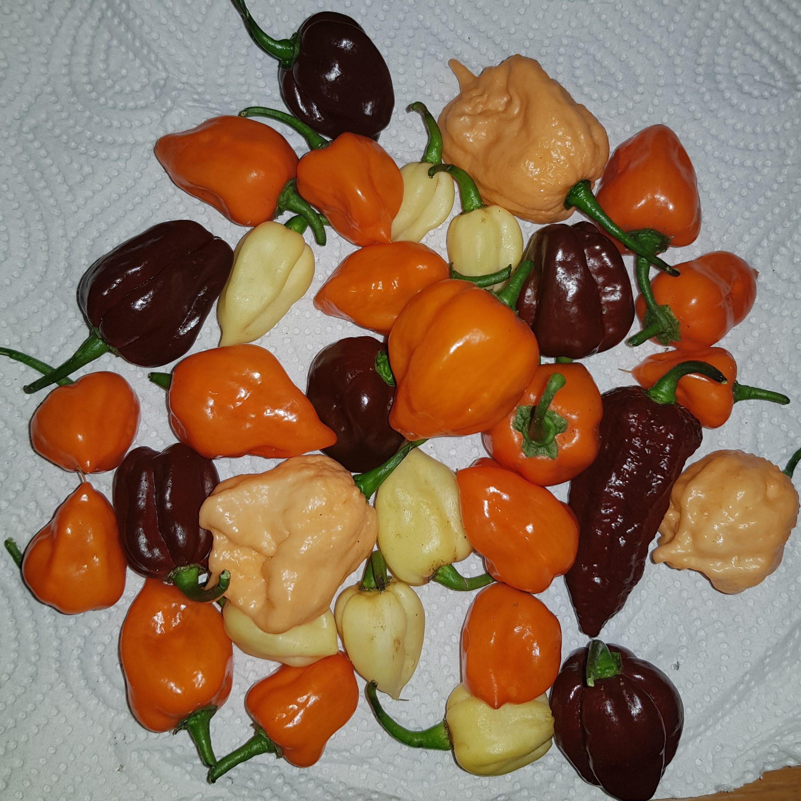 Chilipower aus Eigenzucht